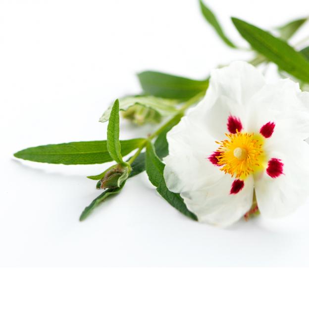 Cisteroos (zonneroos) etherische olie, Cultivar