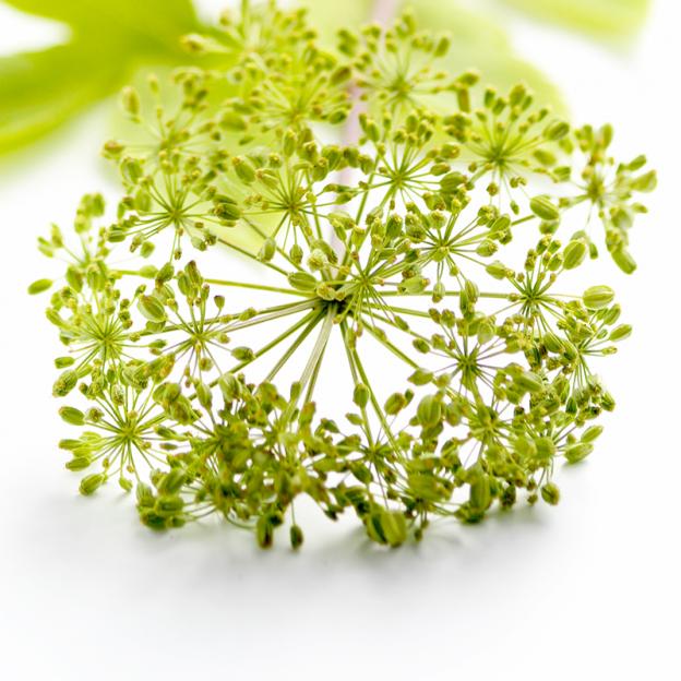 Engelwortel, biologisch, Co2 extract