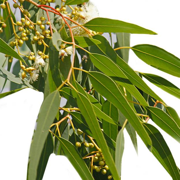 Eucalyptus, citroen etherische olie, Wild