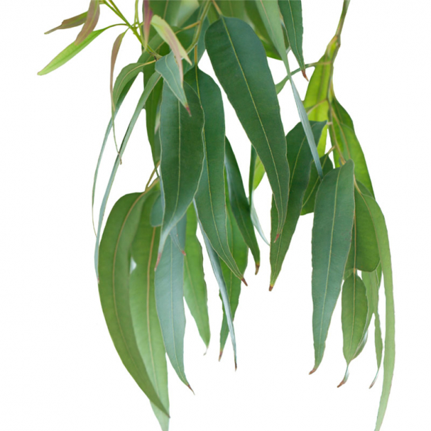 Eucalyptus, smithii etherische olie, biologisch