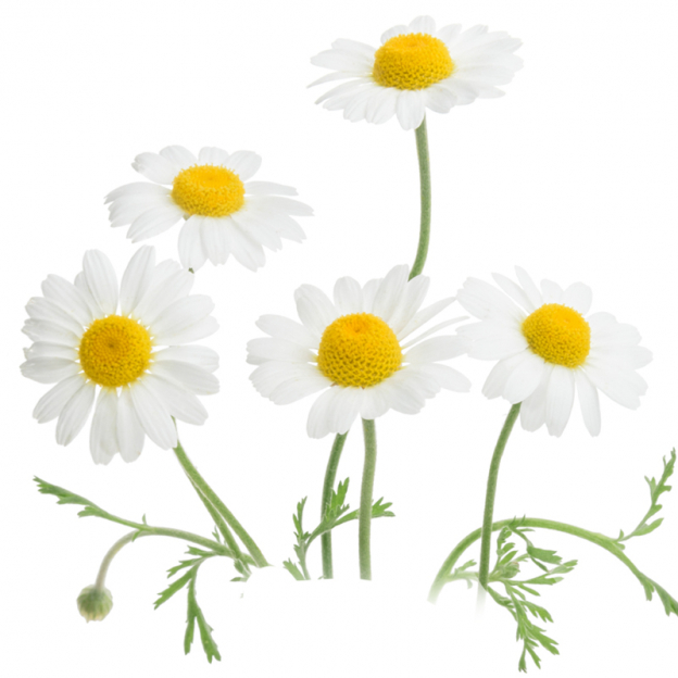 Kamille, echte, CO2 extract select, Cultivar