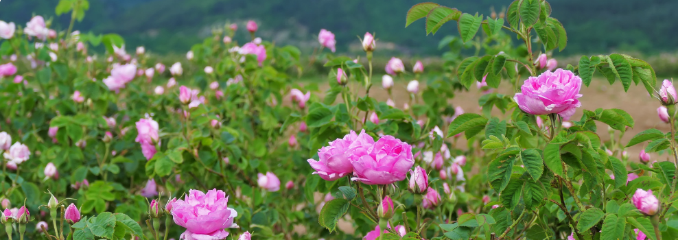 Rozenolie: Rosa damascena